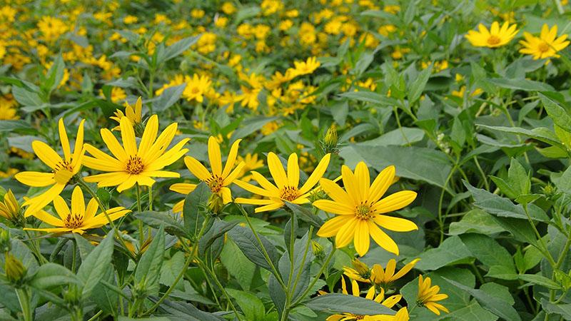 黄色い菊芋の花