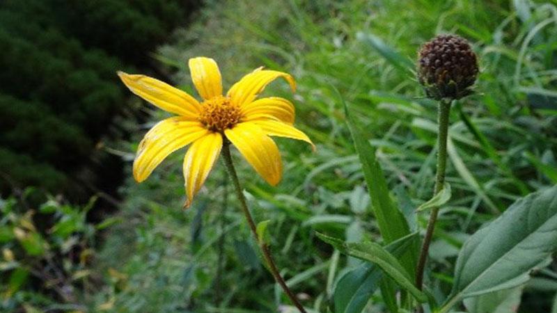 菊芋の花の成長